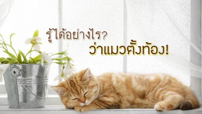 58-รู้ได้อย่างไร ว่าแมวตั้งท้อง