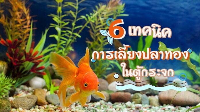 6 เทคนิคการเลี้ยงปลาทองในตู้กระจก